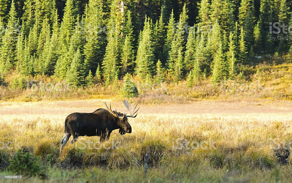 Wild Bull Moose stock photo