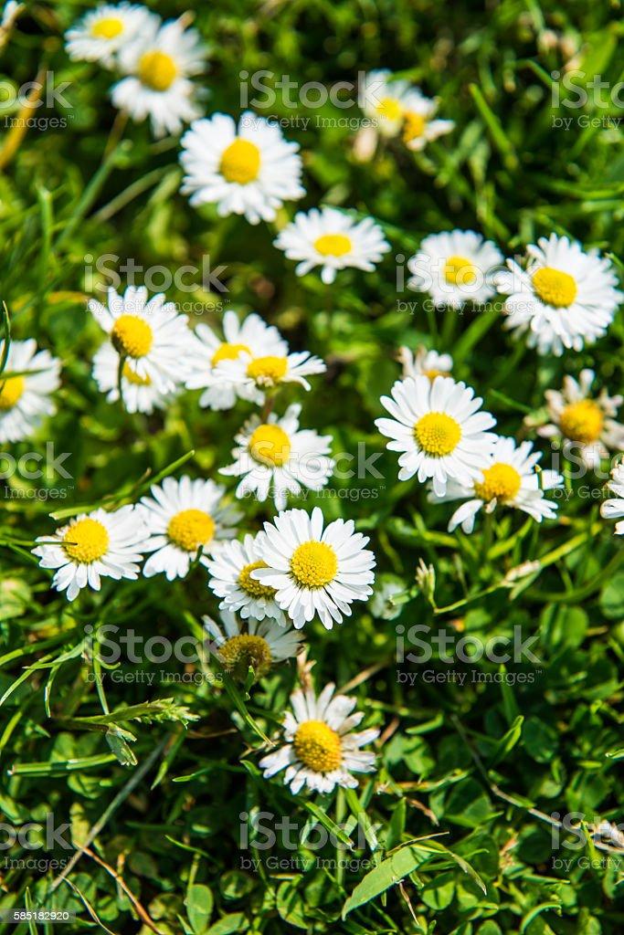 Wild bunch of daisies stock photo
