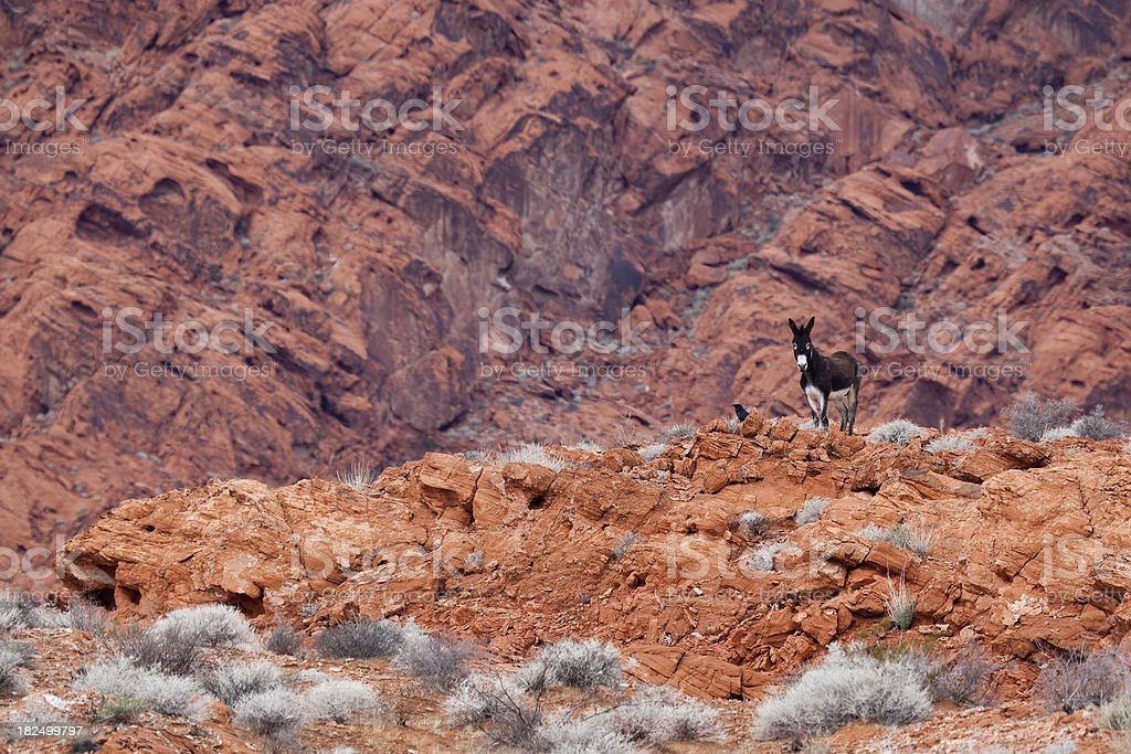 Wild Burro and a Raven at Valley of Fire stock photo