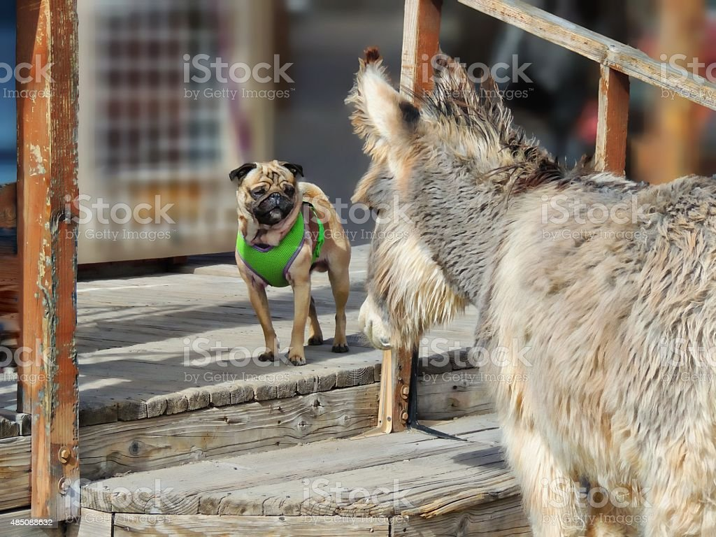 Wild burro and pug looking at each other stock photo