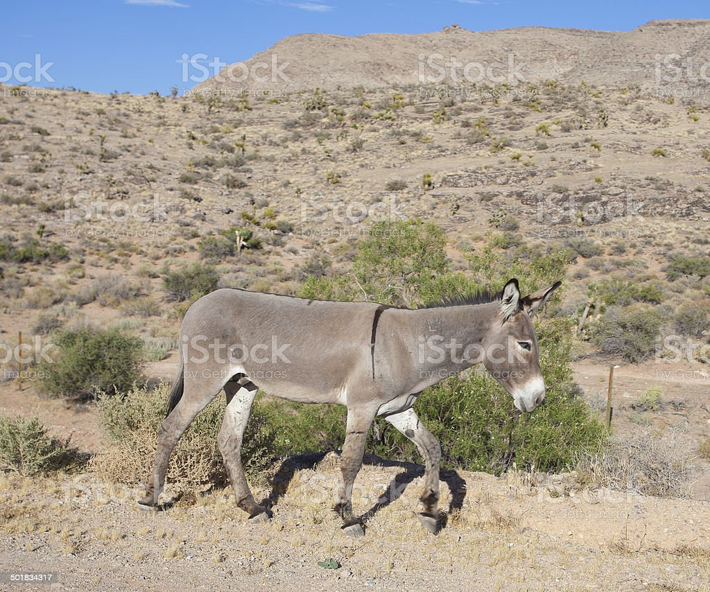 Wild Burro at Red Rock Canyon stock photo
