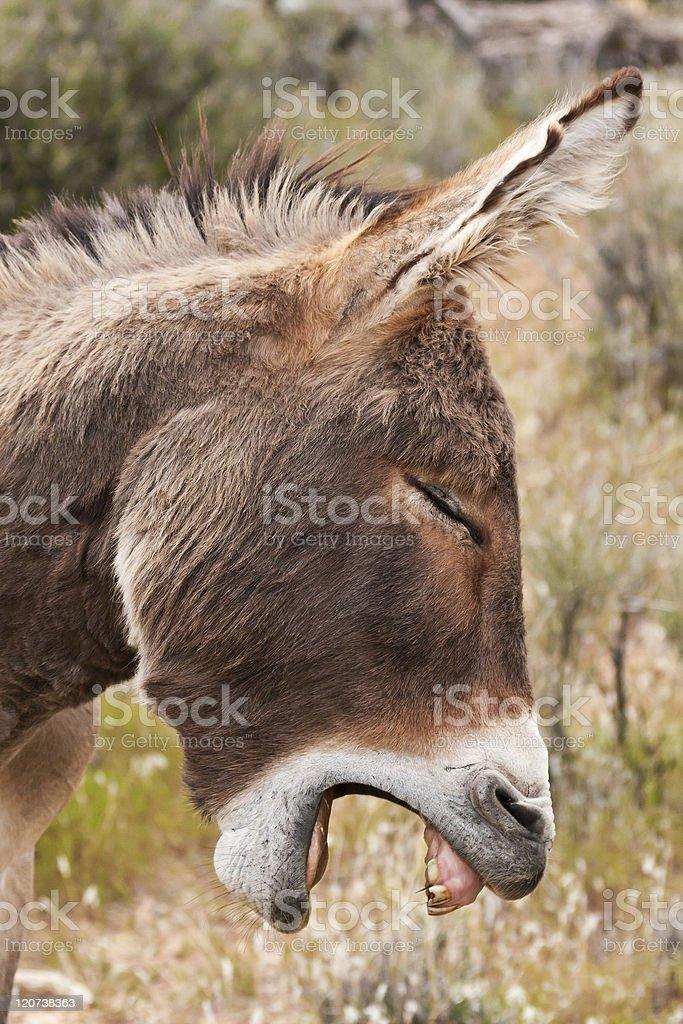 Wild Burro Donkey in Nevada Desert royalty-free stock photo