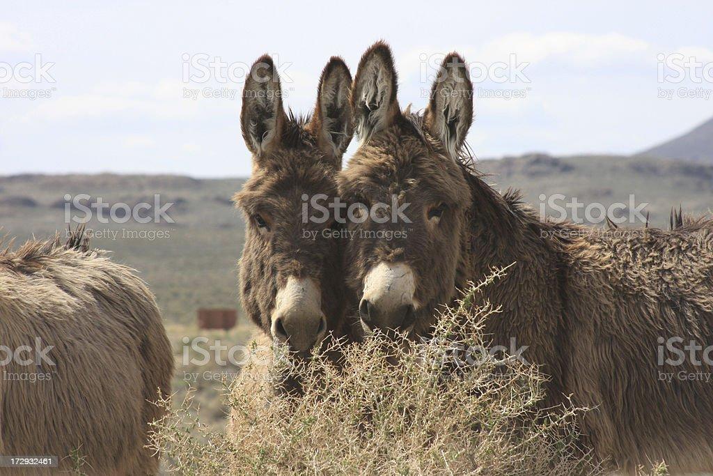 Wild Burros stock photo