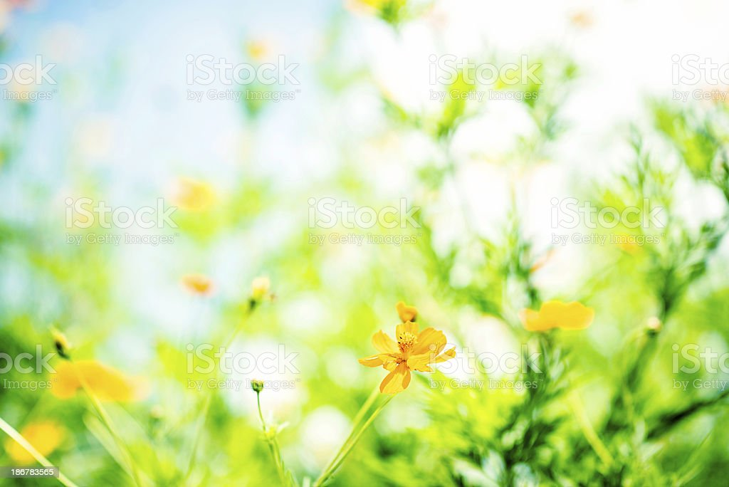 Wild Buttercup Meadow royalty-free stock photo