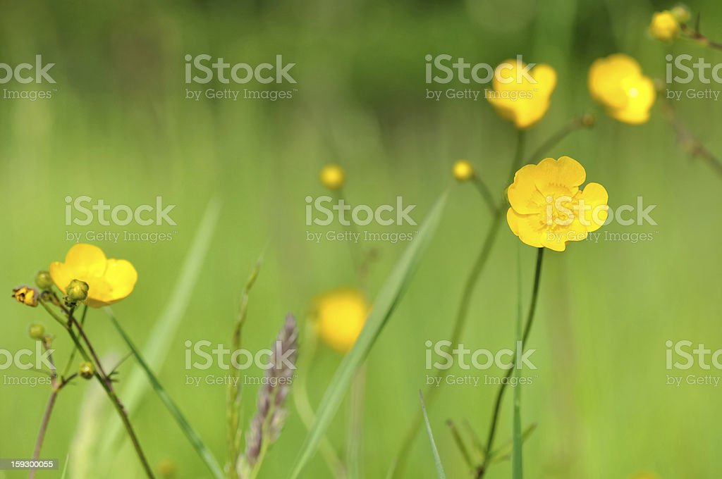 wild buttercups royalty-free stock photo