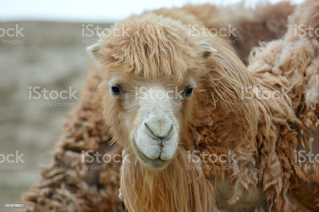 Wild camel. Altay. royalty-free stock photo