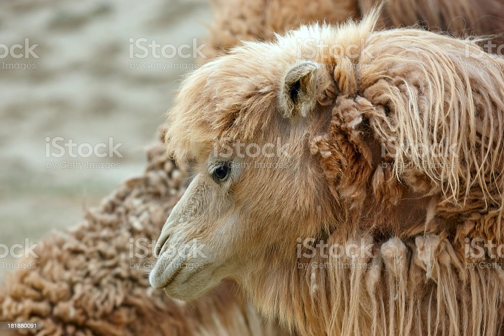 Wild camel. Altay. royalty-free stock photo