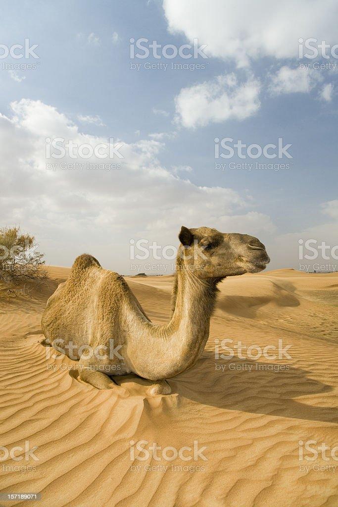 wild camel dromedary royalty-free stock photo