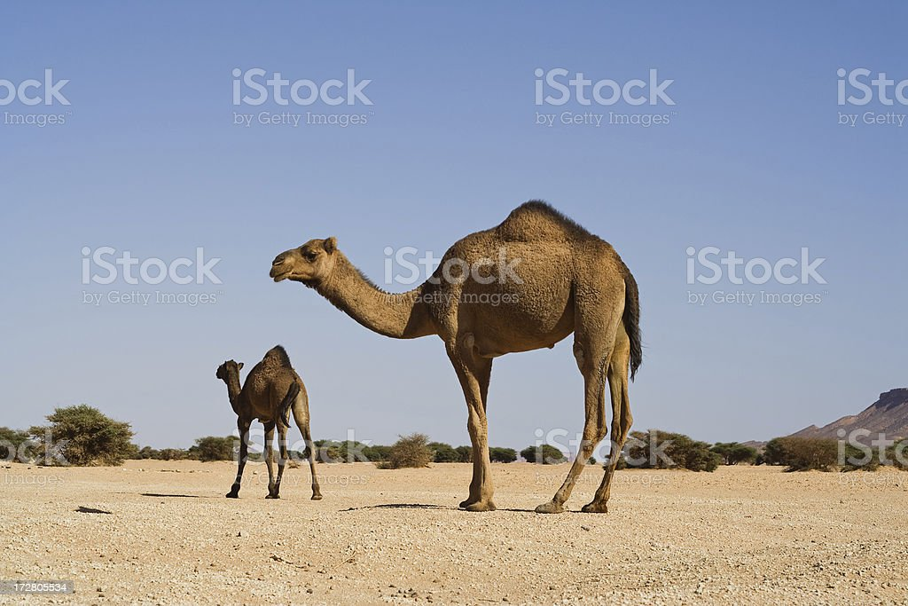 Wild Camel stock photo