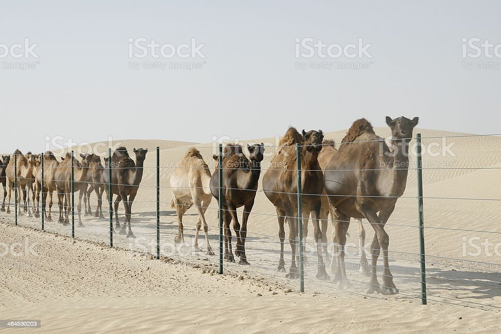 Wild Camel Train stock photo