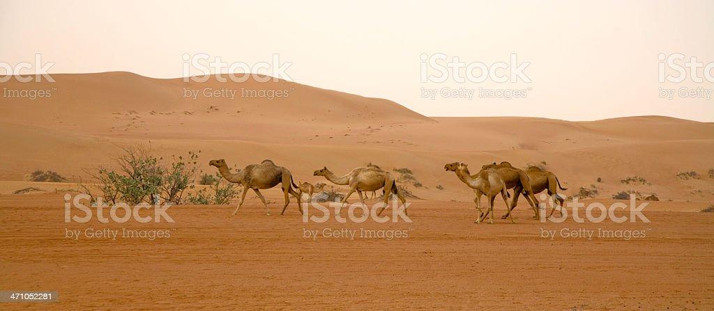 Wild Camels Desert Panorama royalty-free stock photo