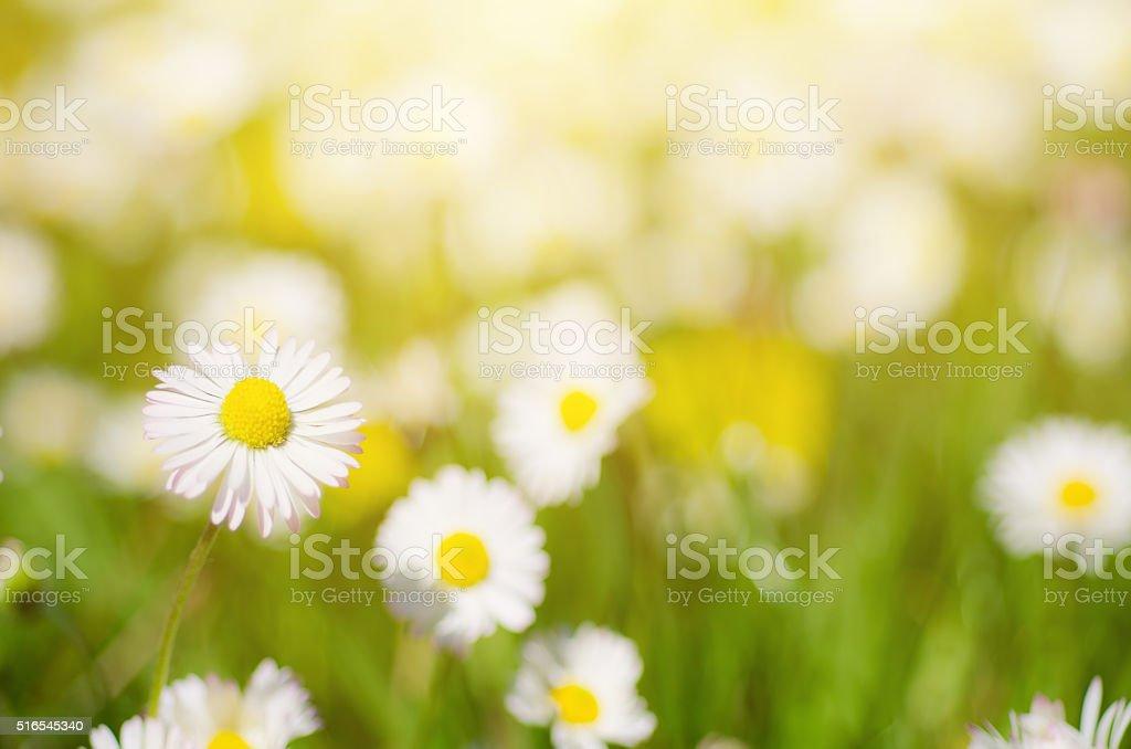 Wild camomile flowers stock photo