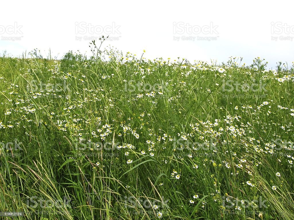 Wild camomile royalty-free stock photo