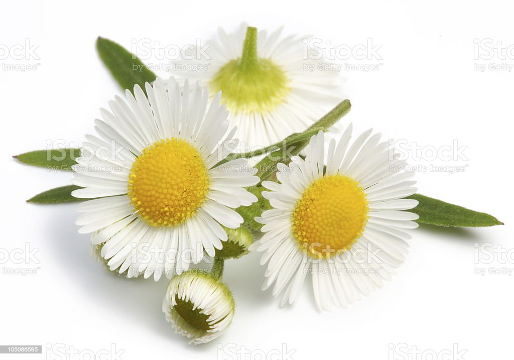 Wild camomiles stock photo