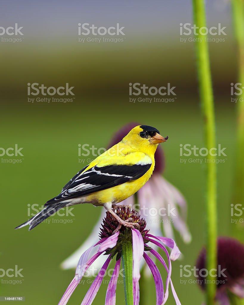 Wild Canary Bird stock photo