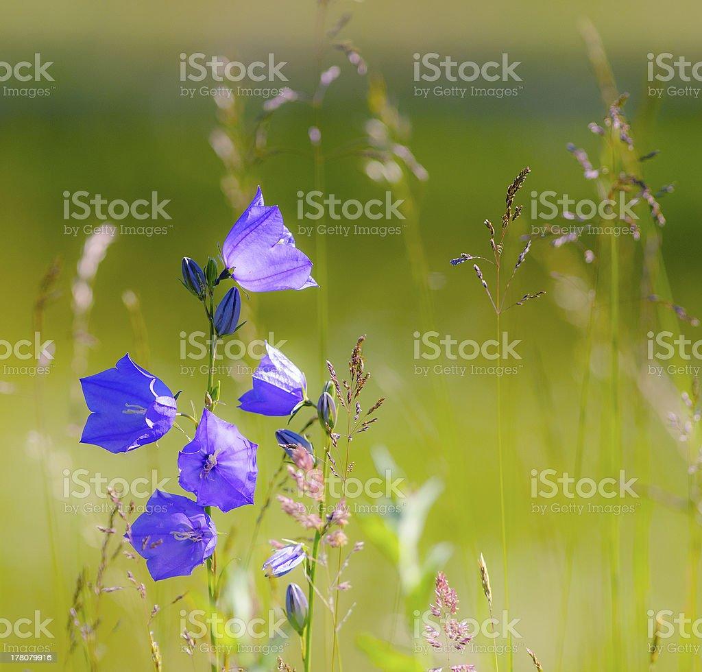 Wild carpathian bellflower stock photo