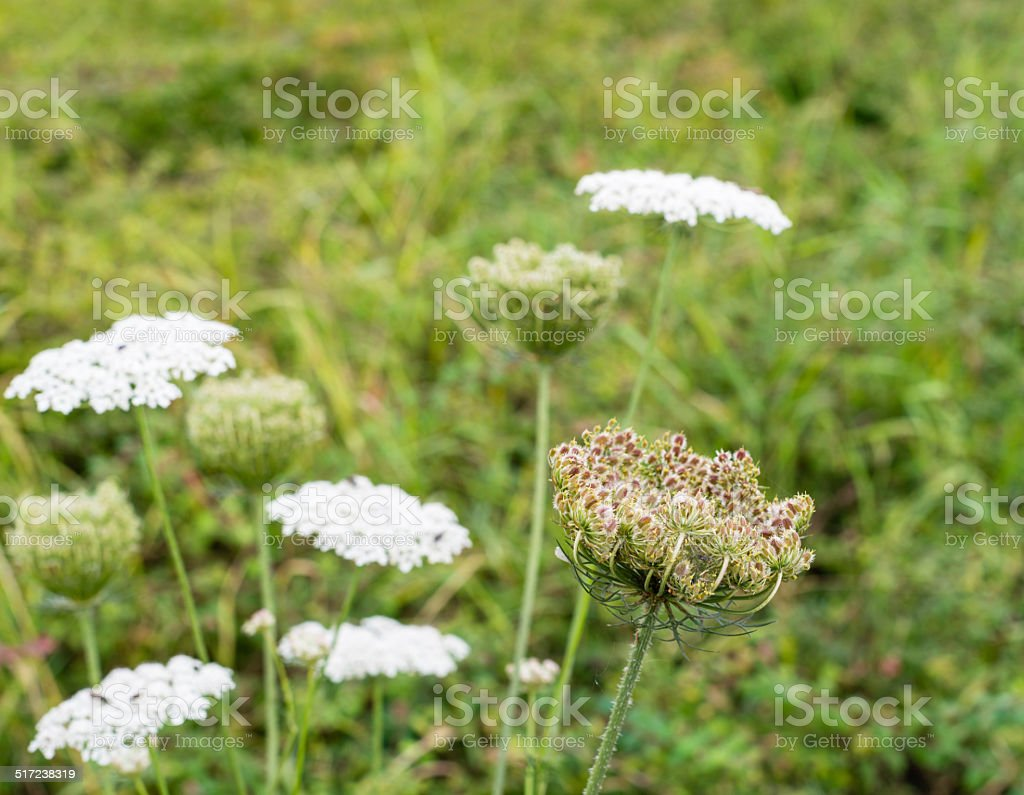 Wild Carrot plants blooming and budding stock photo