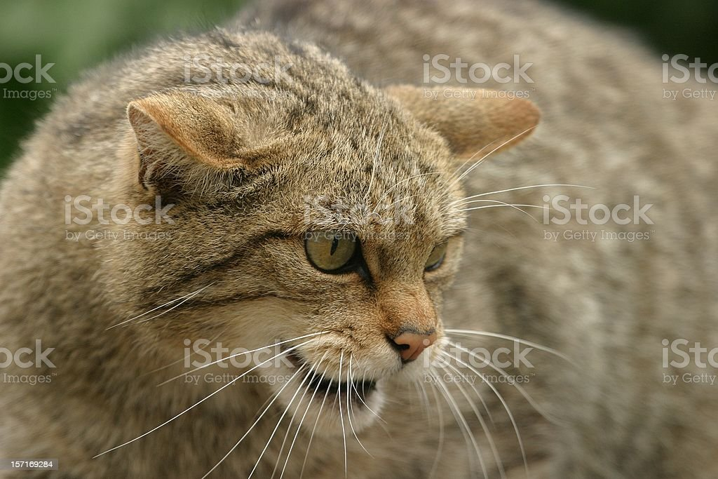 Wild cat royalty-free stock photo