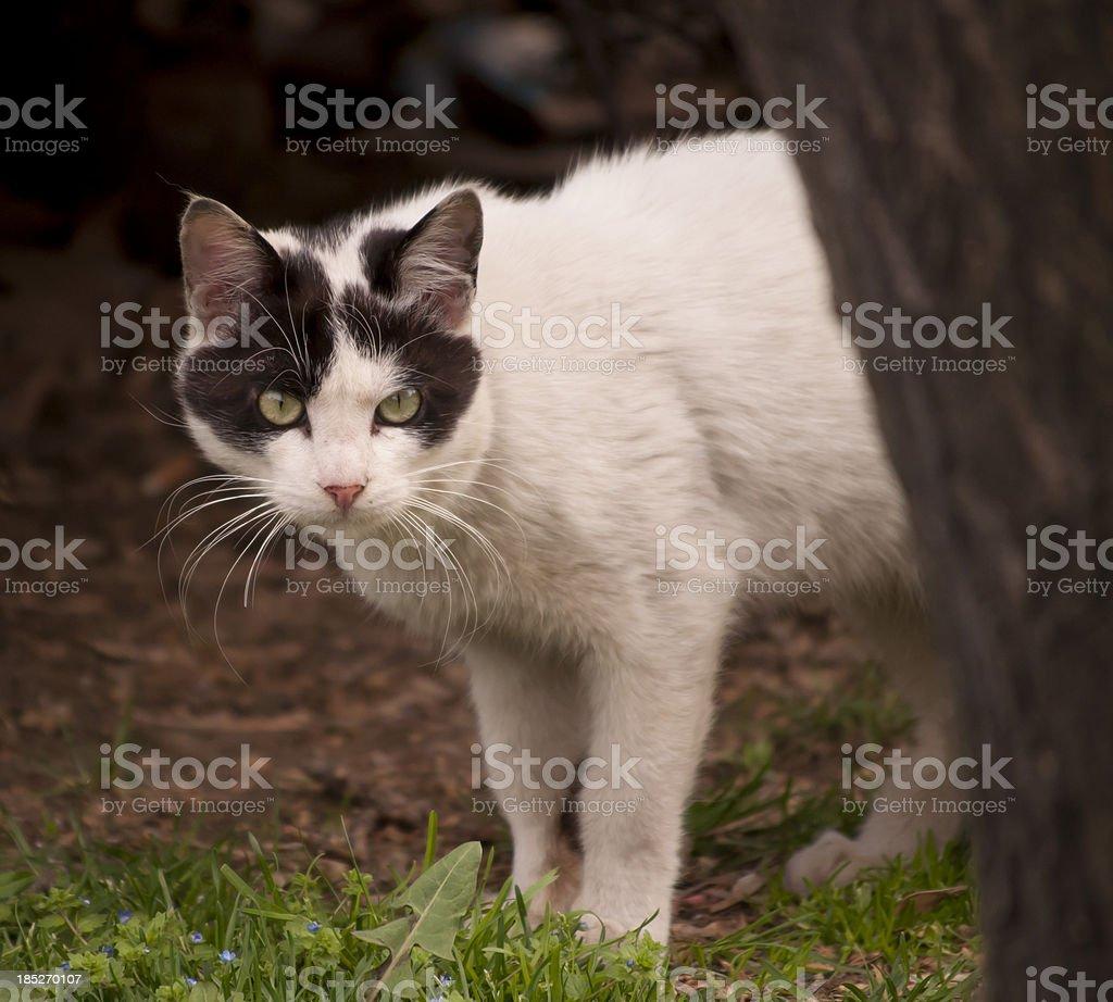 Wild Cat royalty-free stock photo