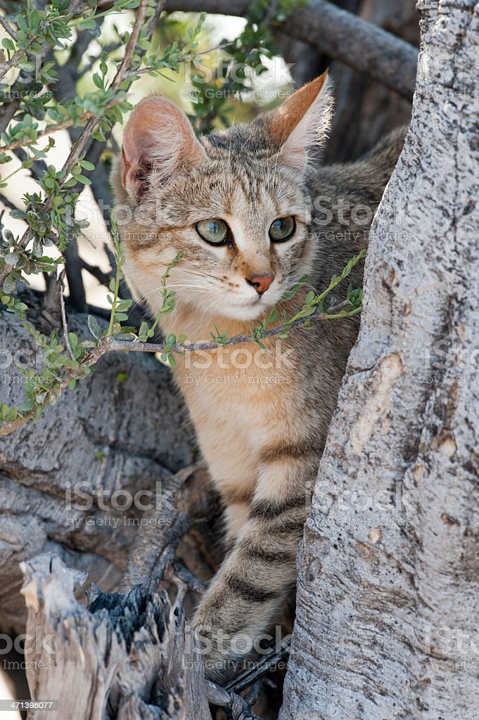 wild cat stock photo