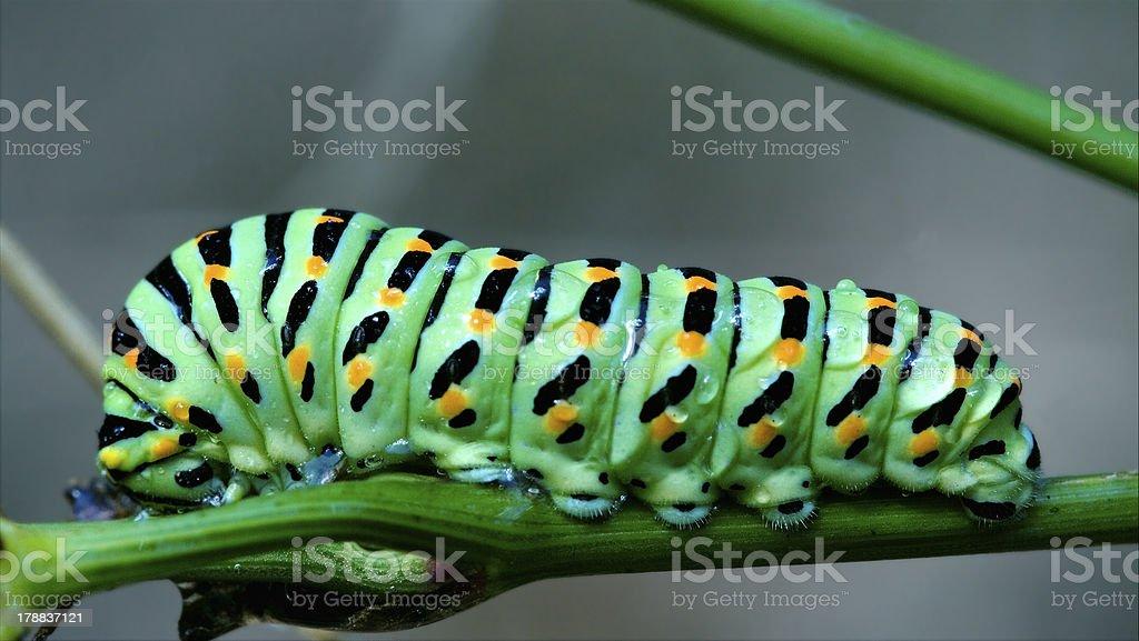 wild caterpillar Papilio royalty-free stock photo