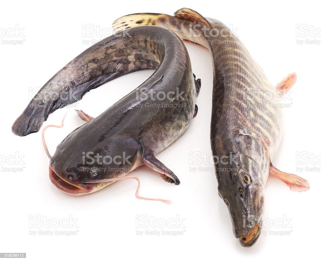Wild catfish and pike. stock photo