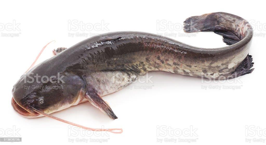 Wild catfish. stock photo