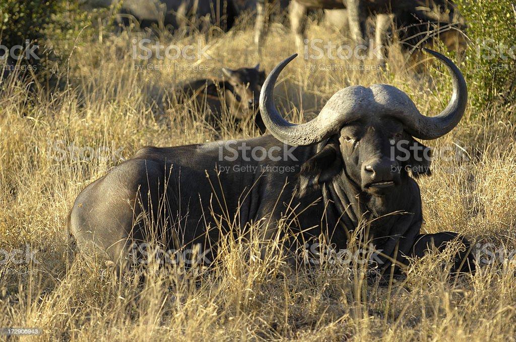 Wild cattle resting stock photo