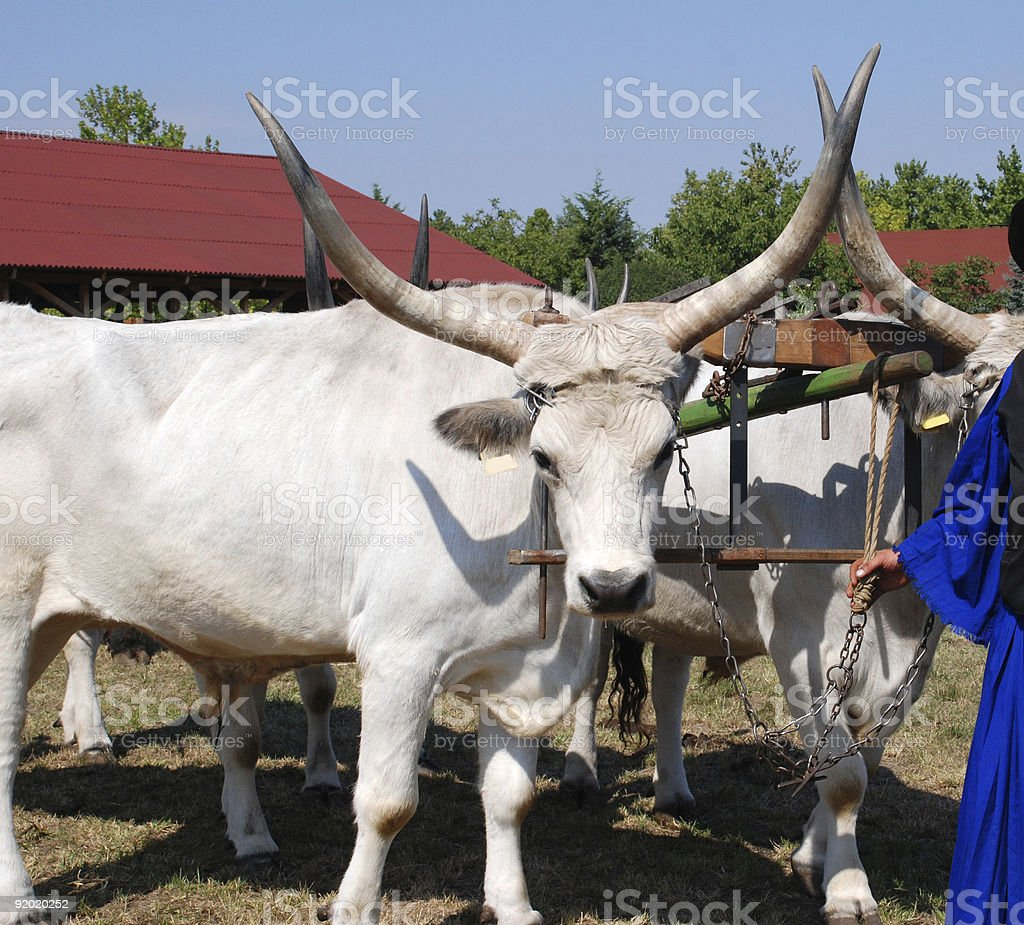 wild cattles and oxen cart stock photo