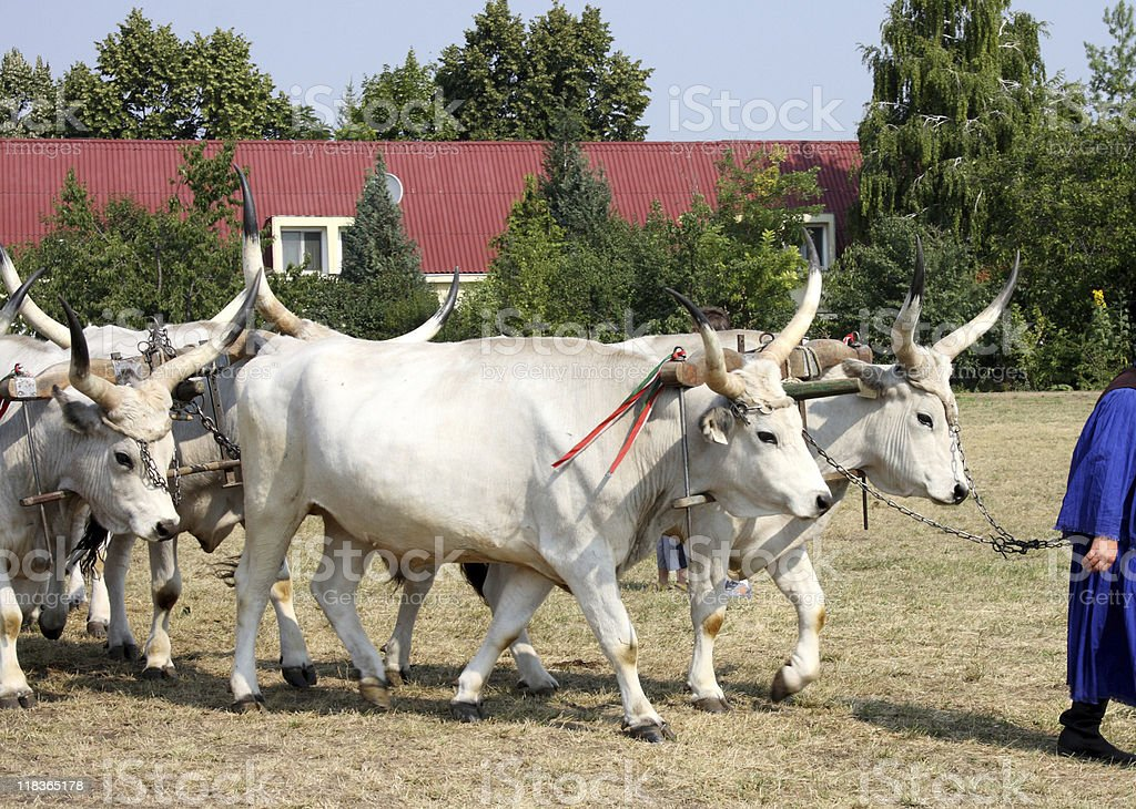 wild cattles are pulling an oxen cart stock photo