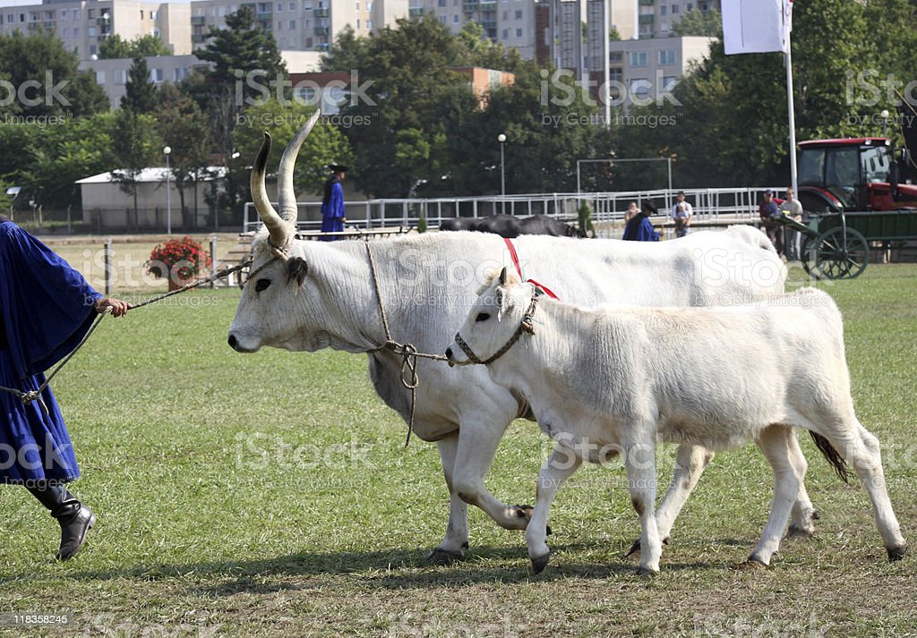 wild cattles at an agricultural fair stock photo