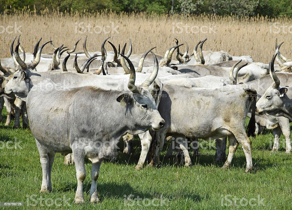 Wild cattles on the meadow stock photo