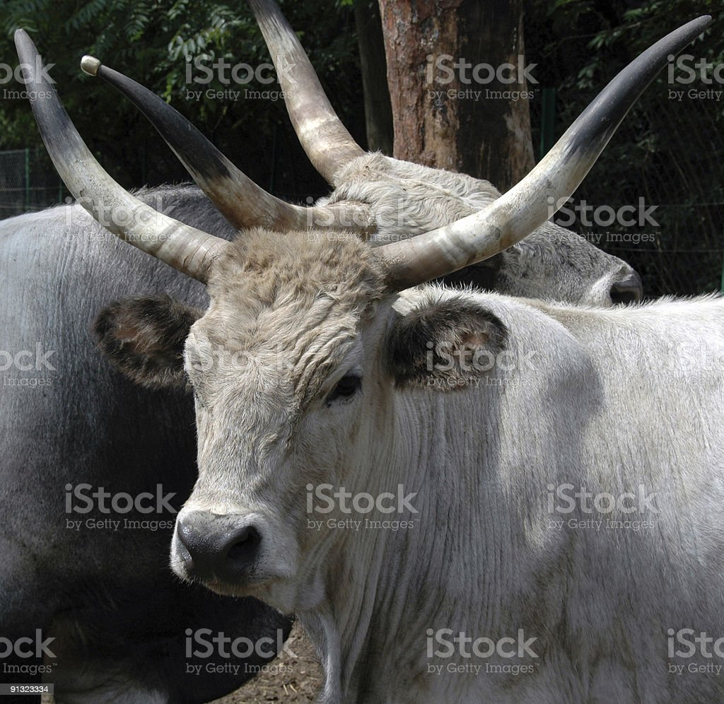wild cattles stock photo