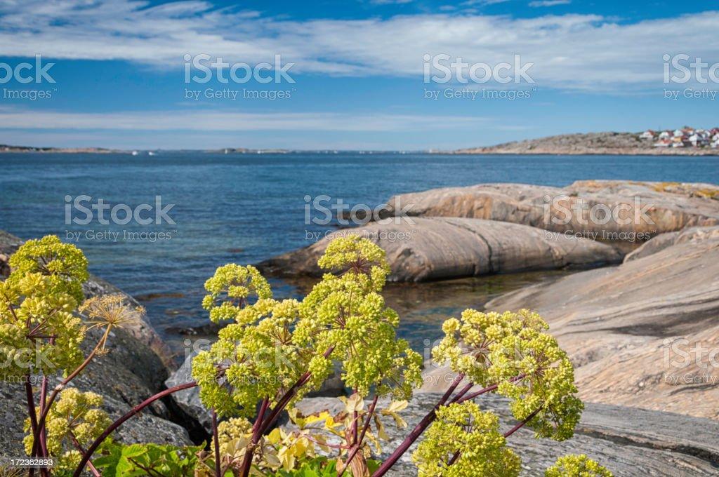 Wild celery at Swedish west coast. stock photo