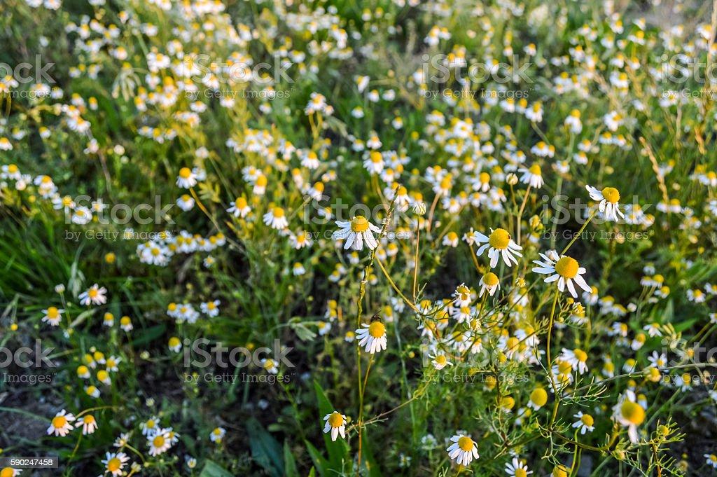 wild chamomile flowers field stock photo