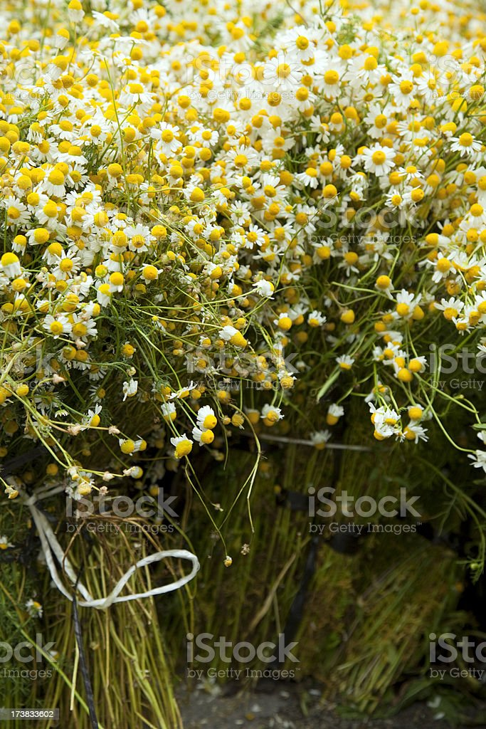 Wild chamomile royalty-free stock photo