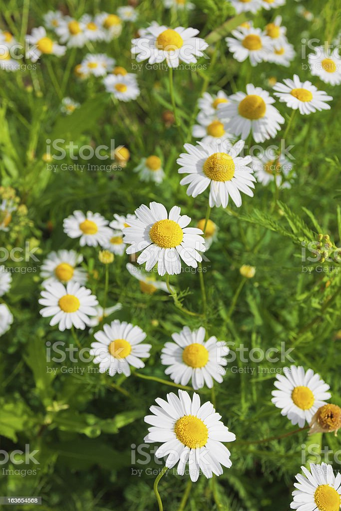 Wild chamomiles royalty-free stock photo