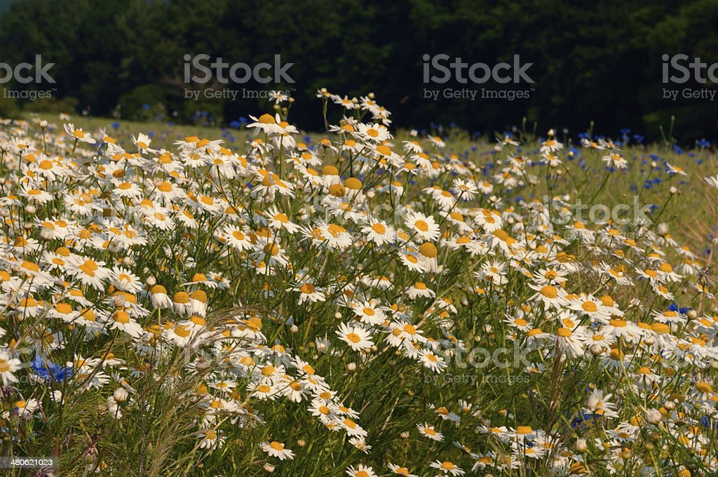 wild chamomilla flowers in field stock photo