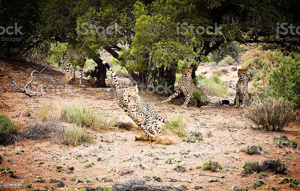 Wild Cheetahs running in South Africa. stock photo