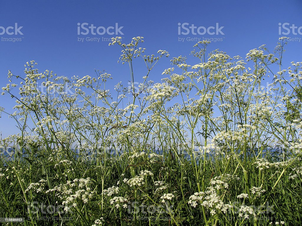 Wild chervil at the sea royalty-free stock photo