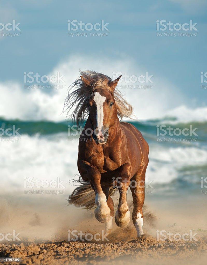 Wild chesnut draft horse running by the sea stock photo