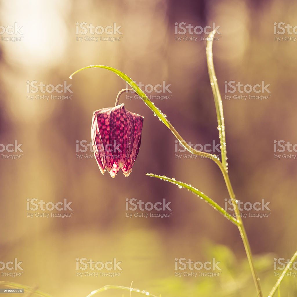 Wild Chess Flower on a Meadow stock photo