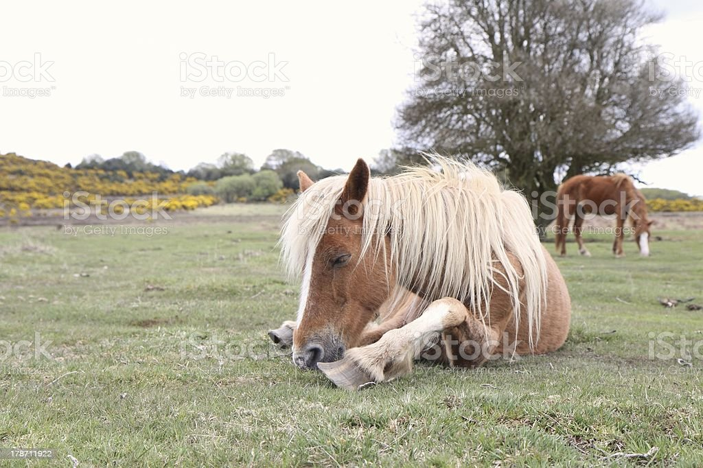 wild chestnut horse resting new forest national park royalty-free stock photo
