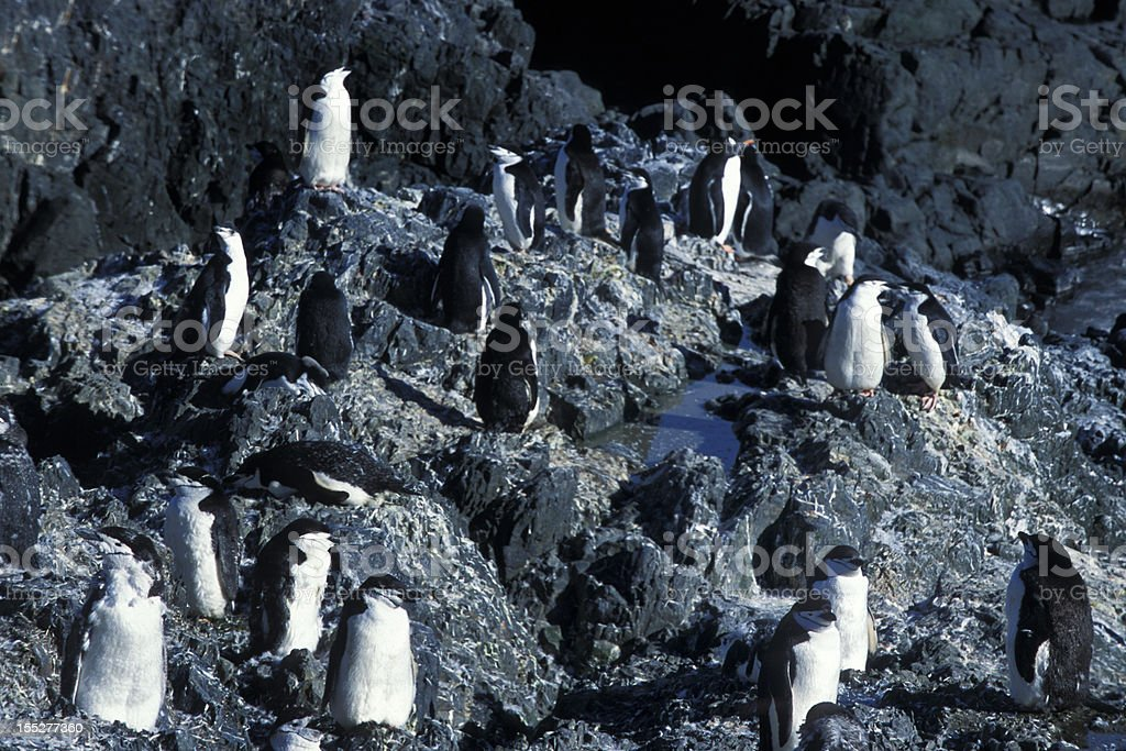 Wild Chinstrap Penguin Rookery on Shore royalty-free stock photo