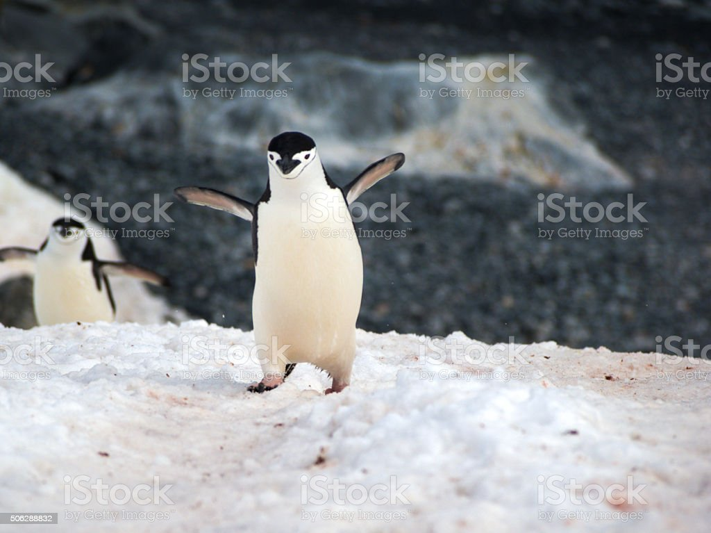 Wild Chinstrap Penguins in Antarctica stock photo