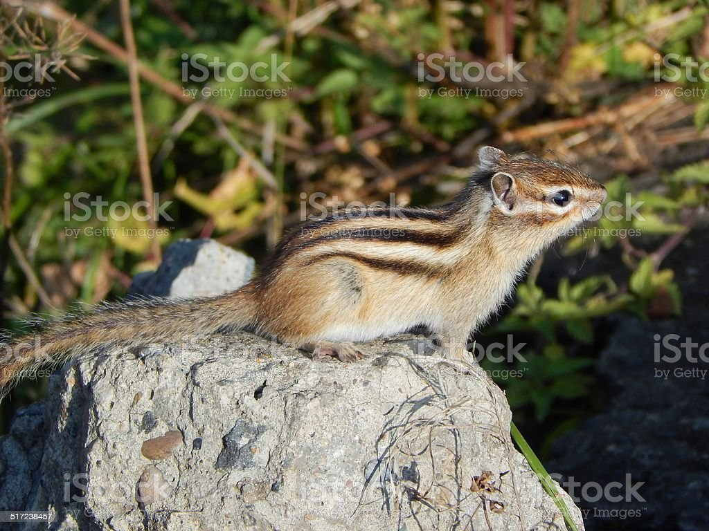 Wild chipmunk on the stone stock photo