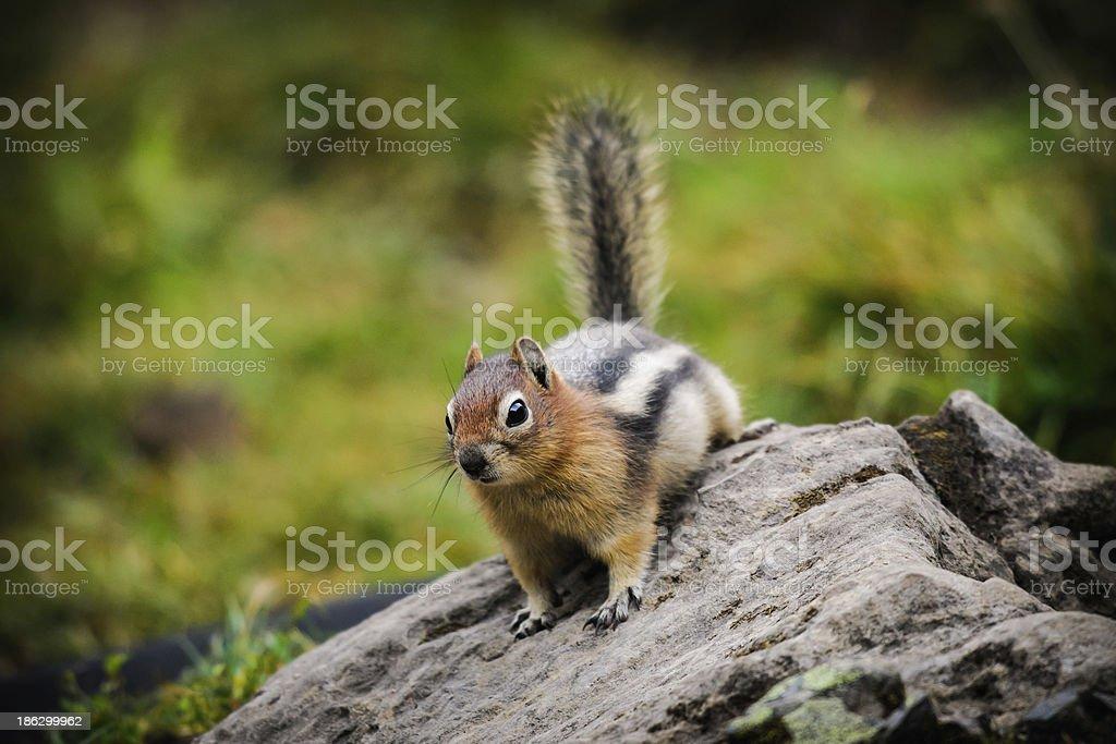 Wild Chipmunk royalty-free stock photo