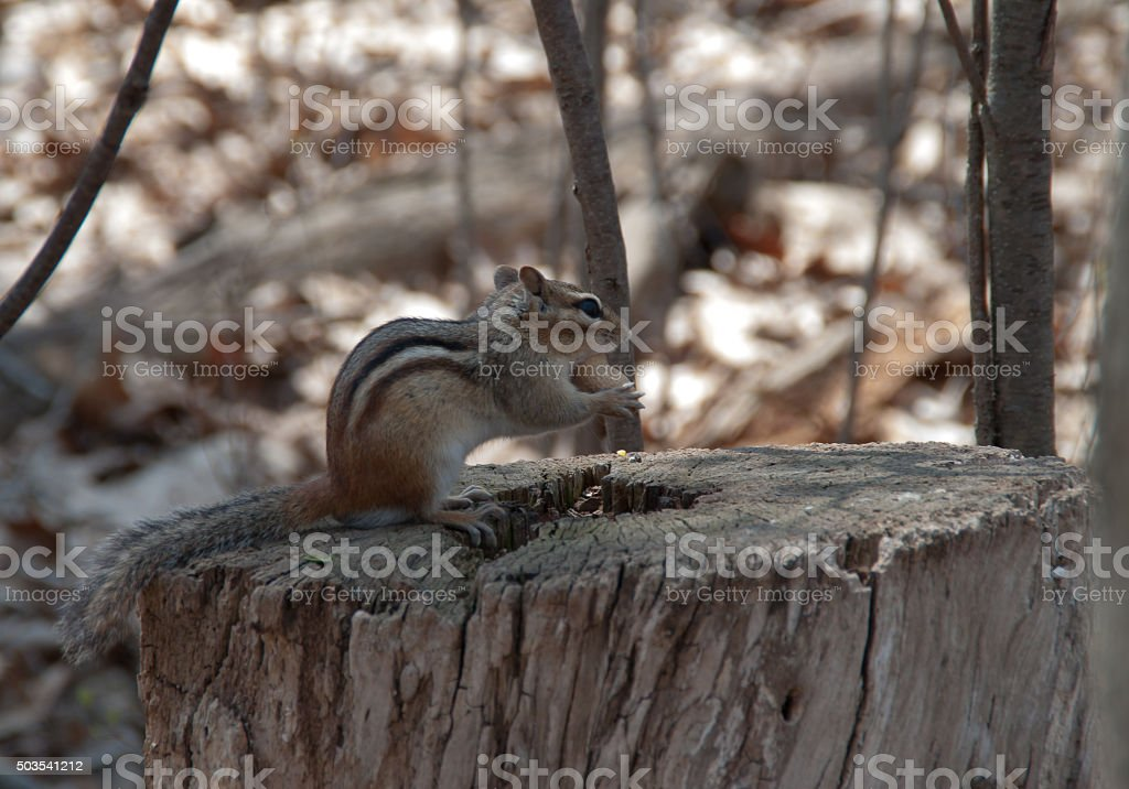 Wild chipmunk stock photo