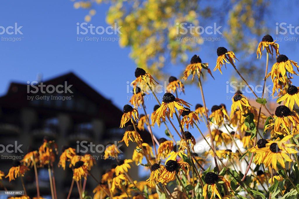 Wild Chrysanthemum - XLarge royalty-free stock photo