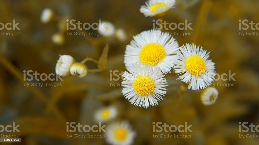 Wild Chrysanthemums stock photo
